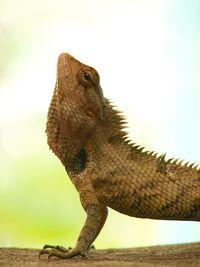 Yoga_lizard